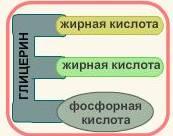фосфолипиды.jpg