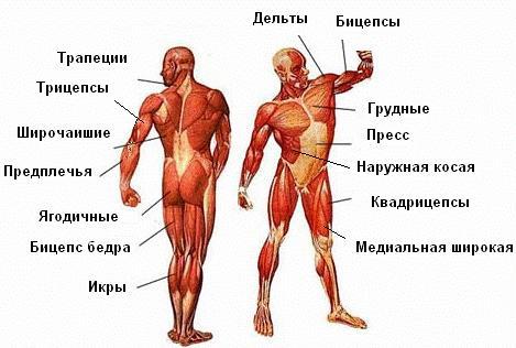 Название мышц на схеме