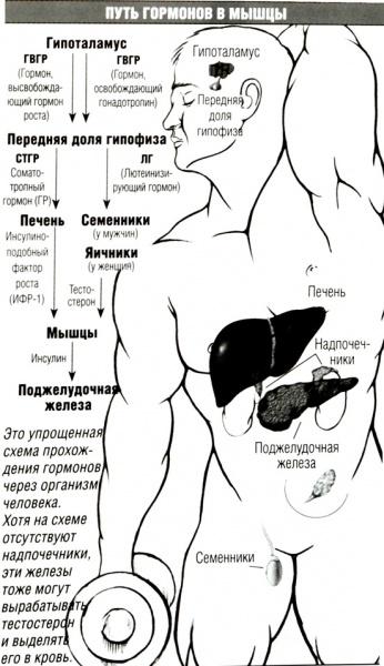 346px-Put_gormonov.jpg