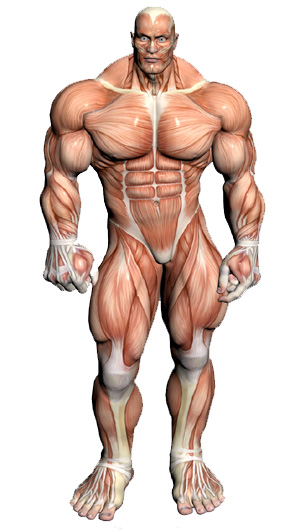 muscular-anatomy-front.jpg
