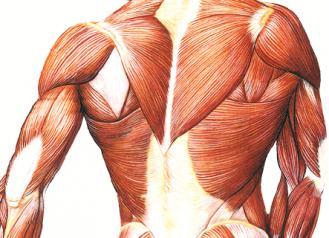 musculatura.jpg